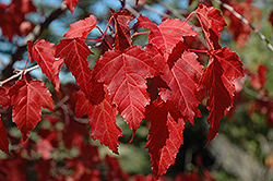 Amur Maple (Acer ginnala) at Ritchie Feed & Seed Inc.