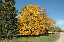 American Linden (Tilia americana) at Ritchie Feed & Seed Inc.