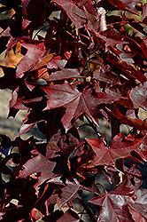 Crimson Sunset Japanese Maple (Acer 'JFS-KW202') at Ritchie Feed & Seed Inc.