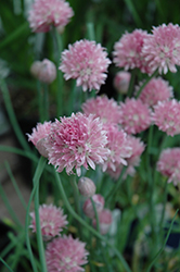 Forescate Chives (Allium schoenoprasum 'Forescate') at Ritchie Feed & Seed Inc.