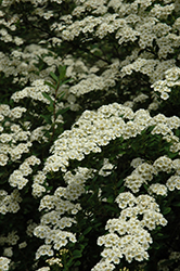 Snowmound Spirea (Spiraea nipponica 'Snowmound') at Ritchie Feed & Seed Inc.