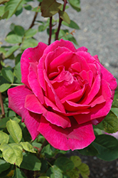 Chrysler Imperial Rose (Rosa 'Chrysler Imperial') at Ritchie Feed & Seed Inc.