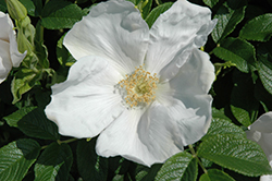 White Rugosa Rose (Rosa rugosa 'Alba') at Ritchie Feed & Seed Inc.