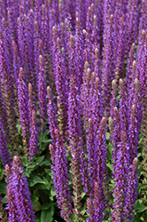 East Friesland Sage (Salvia nemorosa 'East Friesland') at Ritchie Feed & Seed Inc.