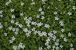 Blue Star Creeper (Isotoma fluviatilis) at Ritchie Feed & Seed Inc.