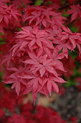 Twombly's Red Sentinel Japanese Maple (Acer palmatum 'Twombly's Red Sentinel') at Ritchie Feed & Seed Inc.