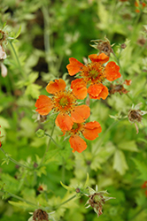 Sunkissed Lime Avens (Geum 'Sunkissed Lime') at Ritchie Feed & Seed Inc.