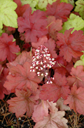 Fire Alarm Coral Bells (Heuchera 'Fire Alarm') at Ritchie Feed & Seed Inc.
