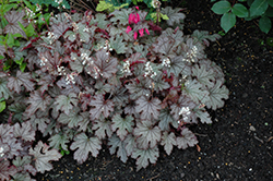 Cracked Ice Foamy Bells (Heucherella 'Cracked Ice') at Ritchie Feed & Seed Inc.