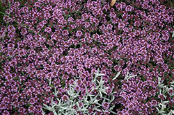 Pink Chintz Creeping Thyme (Thymus praecox 'Pink Chintz') at Ritchie Feed & Seed Inc.