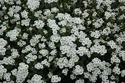 Greek Yarrow (Achillea ageratifolia) at Ritchie Feed & Seed Inc.