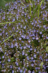 Crystal River Speedwell (Veronica 'Reavis') at Ritchie Feed & Seed Inc.
