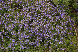 Turkish Speedwell (Veronica liwanensis) at Ritchie Feed & Seed Inc.