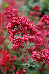 Red Valerian (Centranthus ruber) at Ritchie Feed & Seed Inc.