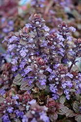 Bronze Beauty Bugleweed (Ajuga reptans 'Bronze Beauty') at Ritchie Feed & Seed Inc.