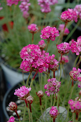 Splendens Sea Thrift (Armeria maritima 'Splendens') at Ritchie Feed & Seed Inc.