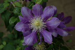 Chevalier Clematis (Clematis 'Evipo040') at Ritchie Feed & Seed Inc.