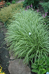 Ice Dance Sedge (Carex morrowii 'Ice Dance') at Ritchie Feed & Seed Inc.