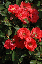 Coral Drift® Rose (Rosa 'Meidrifora') at Ritchie Feed & Seed Inc.