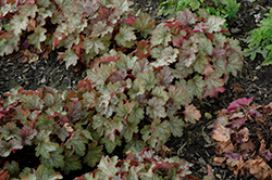 Carnival Fall Festival Coral Bells (Heuchera 'Fall Festival') at Ritchie Feed & Seed Inc.