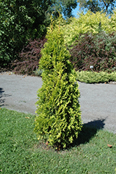 Amber Gold Arborvitae (Thuja occidentalis 'Amber Gold') at Ritchie Feed & Seed Inc.