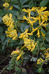 Canary Feathers Corydalis (Corydalis 'Canary Feathers') at Ritchie Feed & Seed Inc.