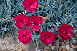 Frosty Fire Pinks (Dianthus 'Frosty Fire') at Ritchie Feed & Seed Inc.