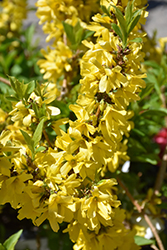 Show Off® Starlet Forsythia (Forsythia x intermedia 'Minfor6') at Ritchie Feed & Seed Inc.