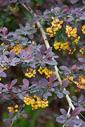 Royal Cloak Japanese Barberry (Berberis thunbergii 'Royal Cloak') at Ritchie Feed & Seed Inc.