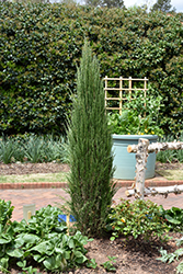 Blue Arrow Juniper (Juniperus scopulorum 'Blue Arrow') at Ritchie Feed & Seed Inc.