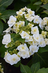 Wedding Gown Hydrangea (Hydrangea macrophylla 'Wedding Gown') at Ritchie Feed & Seed Inc.