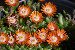 Jewel Of Desert Topaz Ice Plant (Delosperma 'Jewel Of Desert Topaz') at Ritchie Feed & Seed Inc.