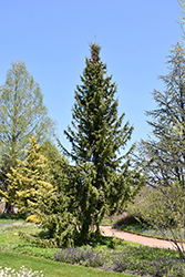 Serbian Spruce (Picea omorika) at Ritchie Feed & Seed Inc.