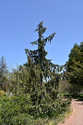 Weeping Nootka Cypress (Chamaecyparis nootkatensis 'Pendula') at Ritchie Feed & Seed Inc.
