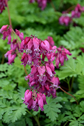 Luxuriant Bleeding Heart (Dicentra 'Luxuriant') at Ritchie Feed & Seed Inc.