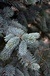 Hoopsii Blue Spruce (Picea pungens 'Hoopsii') at Ritchie Feed & Seed Inc.