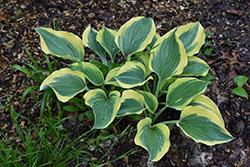 Liberty Hosta (Hosta 'Liberty') at Ritchie Feed & Seed Inc.