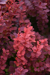 Ruby Carousel Japanese Barberry (Berberis thunbergii 'Bailone') at Ritchie Feed & Seed Inc.
