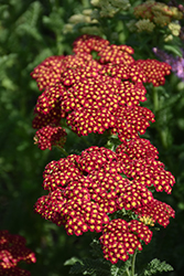 Strawberry Seduction Yarrow (Achillea millefolium 'Strawberry Seduction') at Ritchie Feed & Seed Inc.