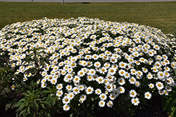 Becky Shasta Daisy (Leucanthemum x superbum 'Becky') at Ritchie Feed & Seed Inc.