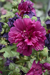 Queeny Purple Hollyhock (Alcea rosea 'Queeny Purple') at Ritchie Feed & Seed Inc.