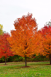 Commemoration Sugar Maple (Acer saccharum 'Commemoration') at Ritchie Feed & Seed Inc.