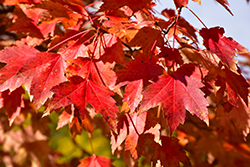 Sun Valley Red Maple (Acer rubrum 'Sun Valley') at Ritchie Feed & Seed Inc.