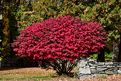 Winged Burning Bush (Euonymus alatus) at Ritchie Feed & Seed Inc.