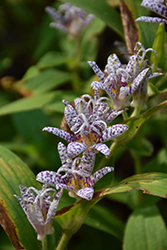 Toad Lily (Tricyrtis hirta) at Ritchie Feed & Seed Inc.