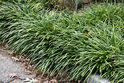 Big Blue Lily Turf (Liriope muscari 'Big Blue') at Ritchie Feed & Seed Inc.