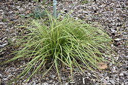 Gold Fountains Sedge (Carex dolichostachya 'Gold Fountains') at Ritchie Feed & Seed Inc.