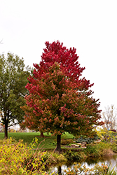 Red Sunset Red Maple (Acer rubrum 'Red Sunset') at Ritchie Feed & Seed Inc.