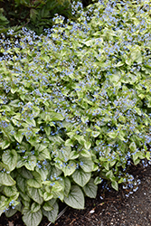 Jack Frost Bugloss (Brunnera macrophylla 'Jack Frost') at Ritchie Feed & Seed Inc.