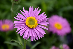 Happy End Alpine Aster (Aster alpinus 'Happy End') at Ritchie Feed & Seed Inc.